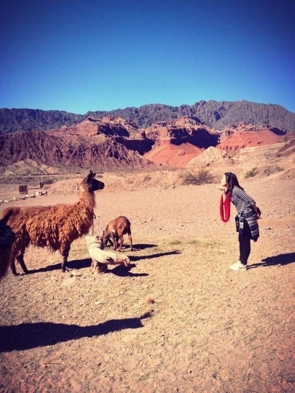 Lamas, nord de l'Argentine, frontière Bolivie, amérique du sud, latine